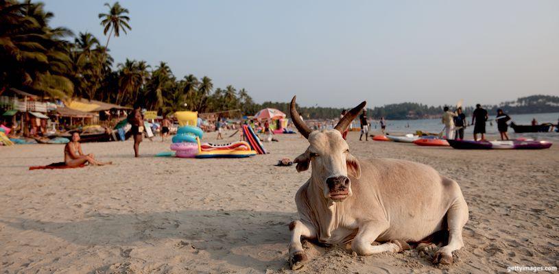 корова лежит на пляже в гоа